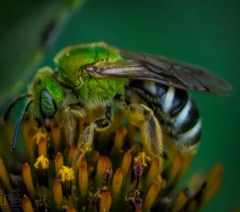 Working green sweat bee