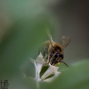 A bee moves between veils