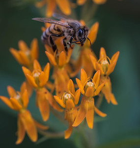 Sweet bee on milkweed