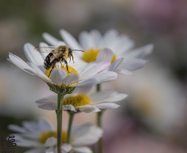 Bee on a daisy tower