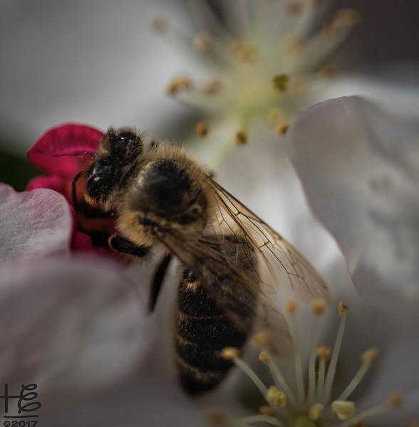 Sweet bee working tree bloom