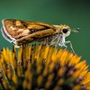 Moth on coneflower