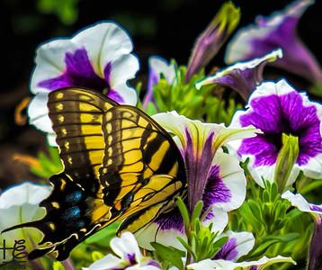 Buttterfly working flower