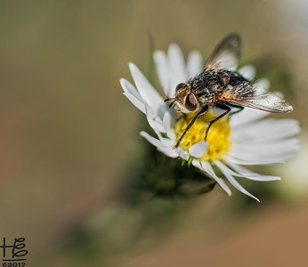 Pollinator fly