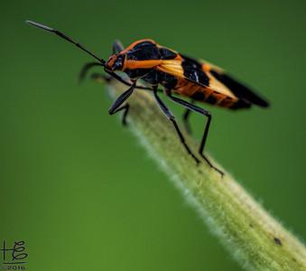 Adult milkweed beetle