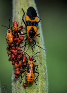 Multi-generation milkweed beetles
