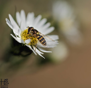 Etheric hover fly