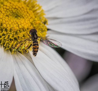 Hoverfly on daisy center