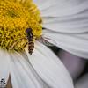 Hoverfly on daisy center