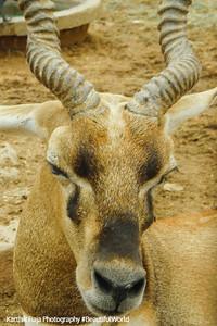 Deer in the Manchala garden, Mantralyam, Andhra Pradesh, India