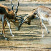 Black Buck Antelope, National Zoological Park, Delhi