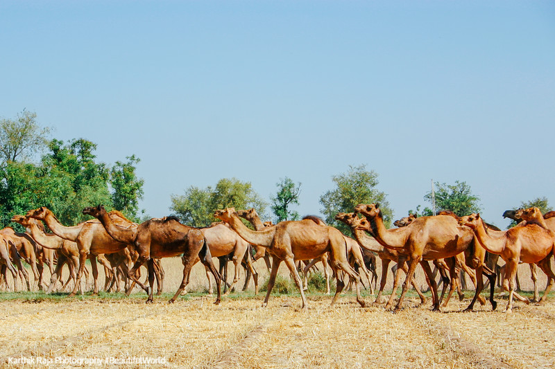Camels, Modhera, Sun temple, Gujarat, India