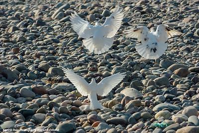 Birds in flight, River Beas, Chamba Pattan, Kangra Valley, Himachal Pradesh