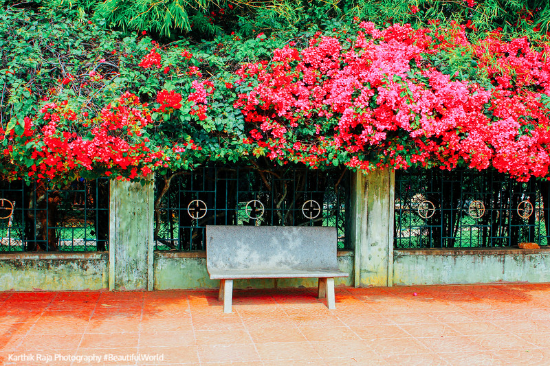 Bench, Bougainvillea, Lalbagh Botanical Gardens, Bangalore, Karnataka