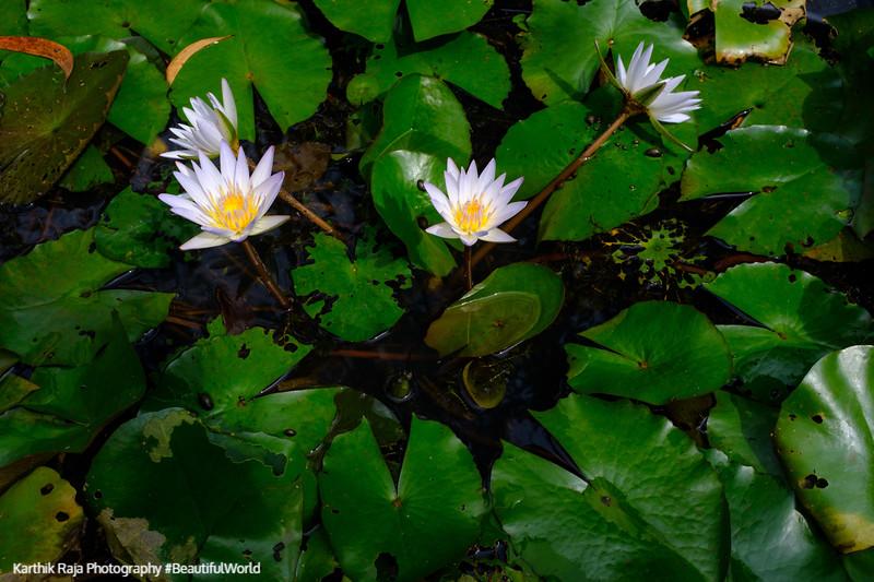 Flowers, Kodagu District, Karnataka, India