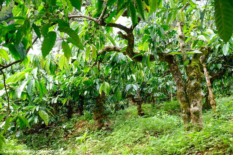 Coffee Estate, Kodagu District, Karnataka, India