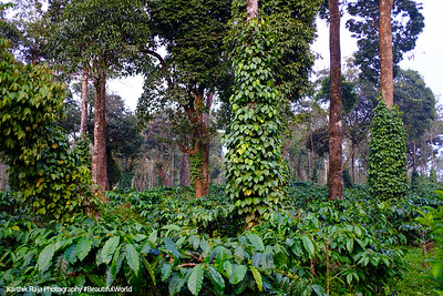 Coffee and Pepper Estates, Kodagu District, Karnataka, India