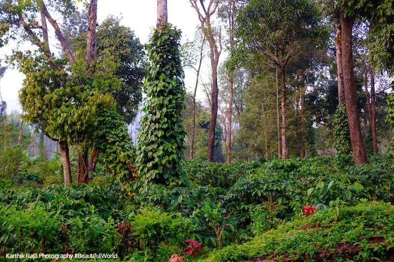 Coffee and Pepper Estates, Kodagu District, Karnataka, India