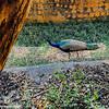 Peacock, Mysore zoo, Karnataka, India
