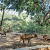 Sambhar Deer, Mysore zoo, Karnataka, India