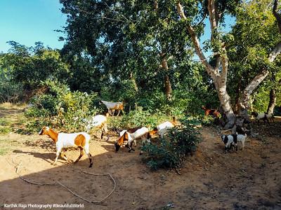 Goats, Talakad, Karnataka, India