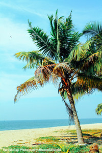 Paradise, coconut trees, Marari beach, Mararikulam, Kerala