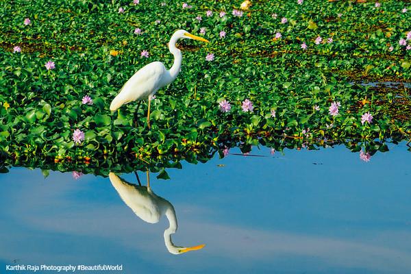 Egret, Kumarakom bird sanctuary. Kerala