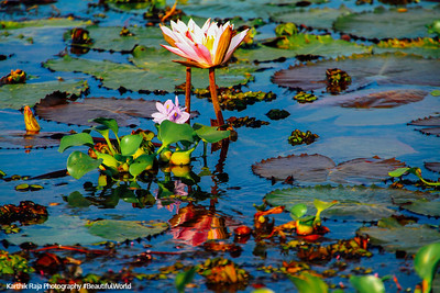 Lily, Kumarakom bird sanctuary. Kerala