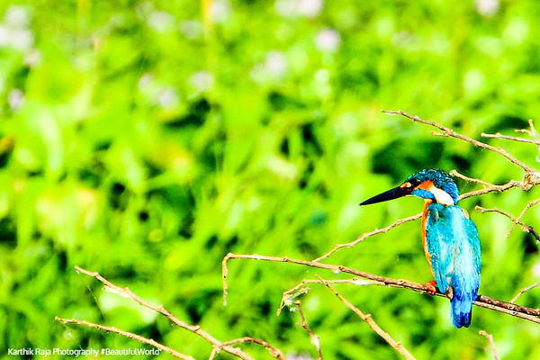 Little Blue Kingfisher, Kumarakom bird sanctuary. Kerala