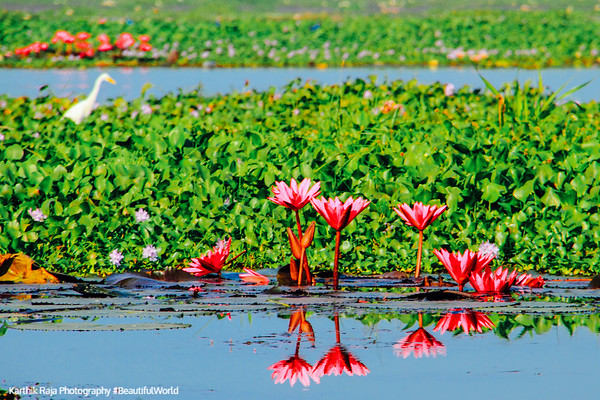 Water Lily, Kumarakom bird sanctuary. Kerala