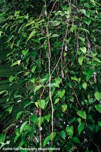 Pepper plant, Melarcode, Kerala