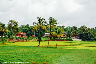 Coconut trees, Melarcode, Kerala