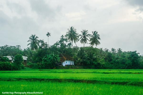 Paddy Fields, Melarcode, Kerala