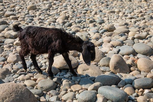 Goat, Dawki, Meghalaya - India - Bangaladesh Border