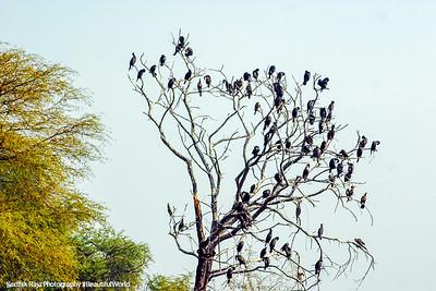 Cormorant colony, Keoladeo, Bharatpur National Park, Rajasthan, India