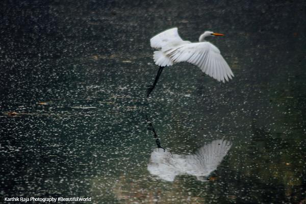 Egret in flight, Keoladeo, Bharatpur National Park, Rajasthan, India