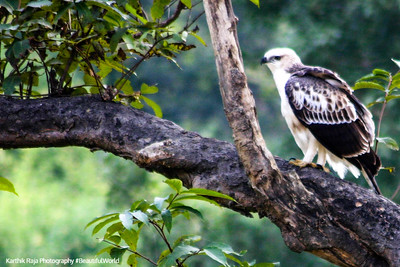 Kite, Rajaji National Park, Uttaranchal, India
