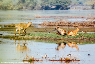 Wildlife, Marshlands, Keoladeo, Bharatpur National Park, Rajasthan, India