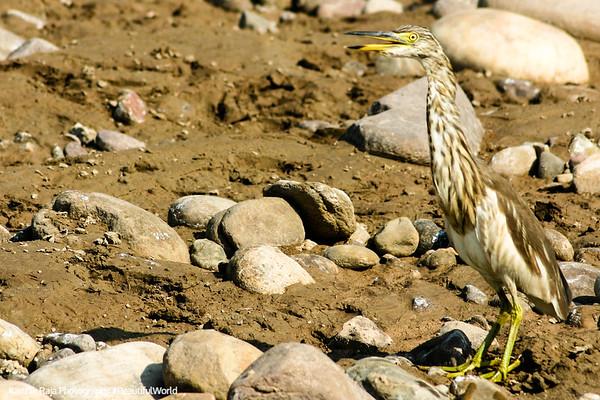 Heron, Rajaji National Park, Uttaranchal, India