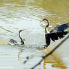 Territorial fights, Darters, Keoladeo, Bharatpur National Park, Rajasthan, India