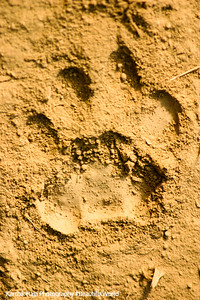 Tiger tracks, Rajaji National Park, Uttaranchal, India