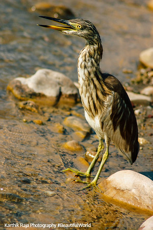 Heron, Rajaji National Park, Uttaranchal, India
