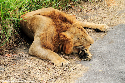 Lion, Bannerghatta National Park, India