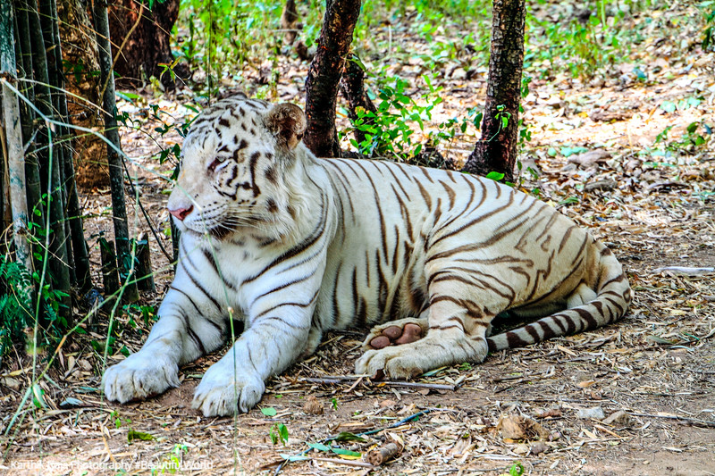 White Tiger, Bannerghatta National Park, India