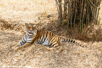 Bengal Tiger, Bannerghata National Park, India
