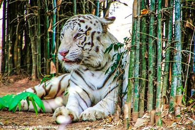 White Tiger, Bannerghatta National Park, India