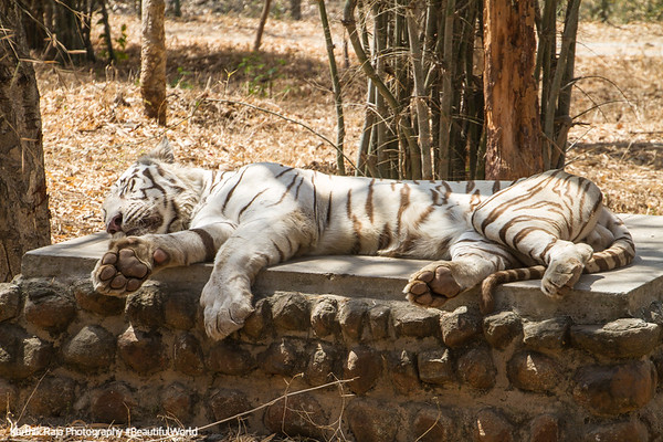 White Tiger, Bannerghata National Park, India