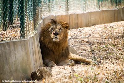 Lion, Bannerghata National Park, India