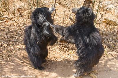 Bear, Bannerghata National Park, India