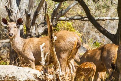Deer, Bannerghata National Park, India